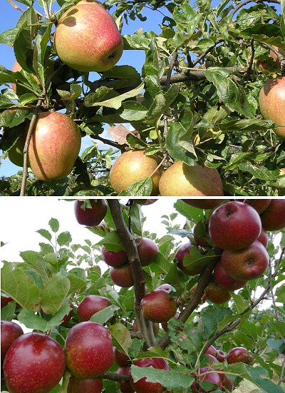 Apple tree varieties