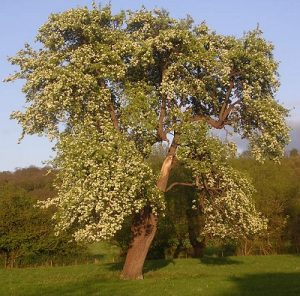 Old pear tree in blossom